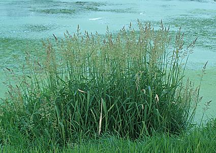 Högt gräs ruff